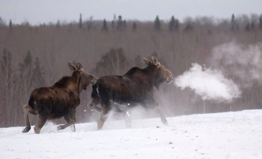 An estimated 2,060 of the lumbering beasts roam the Isle Royale wilderness, according to a report.