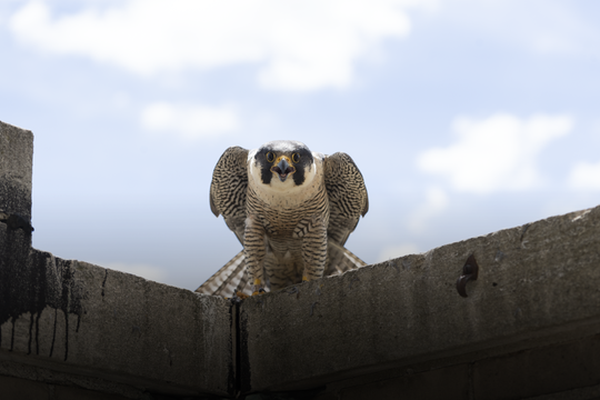 Peregrine falcons disappeared from the eastern half of the United States in the 1960s, including in Michigan. Now, they're back and thriving.