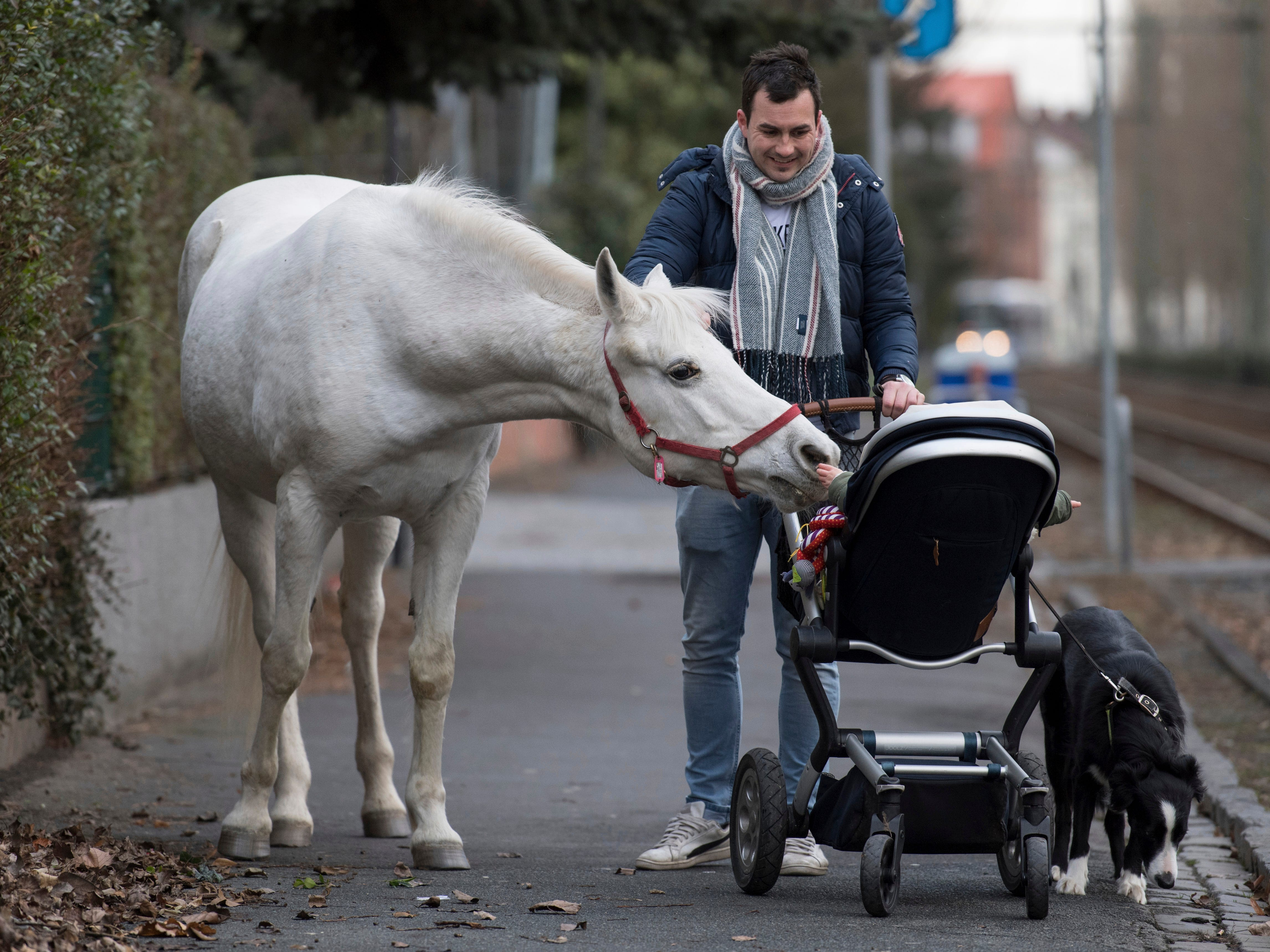 Arabian mare Jenny, 22, walks home from her daily tour of the surroundings in Frankfurt, Germany, March 8, 2019. Jenny's owner opens the stable door for the horse every morning and the animal decides for itself where she wants to spend the day.