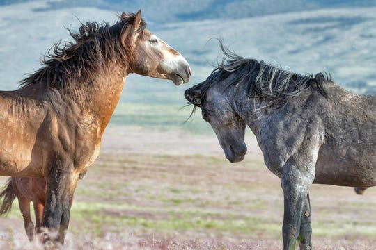 Get a glimpse of these wild horses, their history, heritage, present day habitat and ongoing connection with humans at one of two presentations to be held at the Unitarian Universalist Fellowship Meeting House, 3845 N. Swan St, in Silver City, NM on Friday, May 3 at 6 p.m. or the following morning, May 4 at 11 a.m.