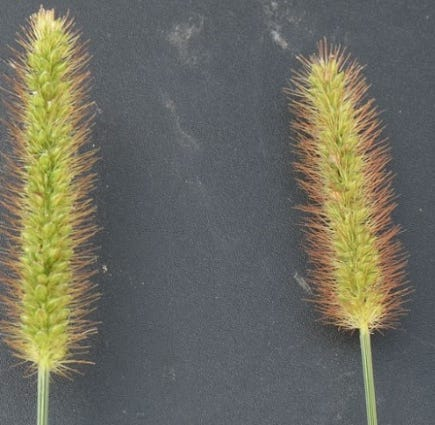 Foxtail plant a threat to dogs, cats and horses