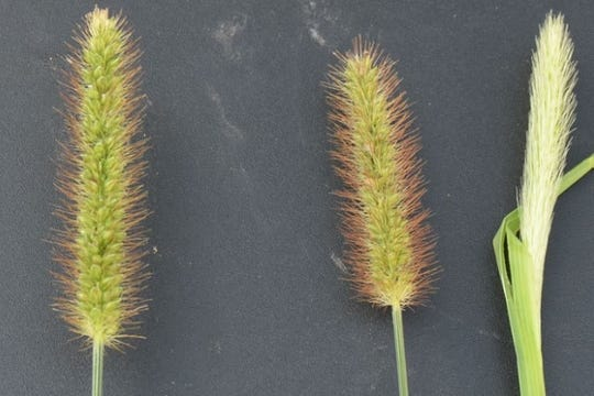 Foxtail seed heads can vary in color and fullness.