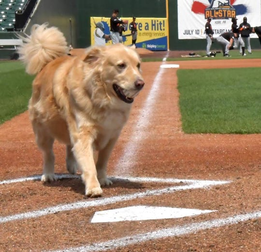 Boomer, the York Revolution's team dog, is serving his ninth and final season.