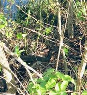 A Northern water snake is concealed in deep brush surrounding Bainbridge Park pond in Ocean Pines.