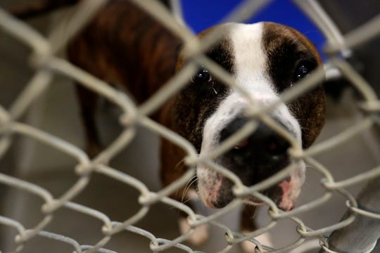 Major, a boxer, peers out from his kennel as he waits for a family to adopt him at the City of Tallahassee Animal Service Center on National Adopt a Shelter Pet Day Tuesday, April 30, 2019.