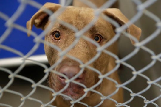 Oden, a Labrador retriever mix, patiently awaits to be adopted the the City of Tallahassee Animal Service Center on National Adopt a Shelter Pet Day Tuesday, April 30, 2019.