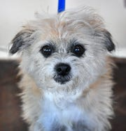 Marshmallow is a 5-year-old, tan, female terrier mix. She has been vaccinated, spayed and microchipped. Marshmallow is sweet, a little shy and would do well in a home without small children. She is available for adoption at the Humane Society of Wichita County.