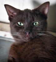 Hershey is a 9-month-old, Havana Brown, male domestic short hair. He has been neutered, vaccinated and microchipped. Hershey is calm, sweet, affectionate and is available for adoption at the Humane Society of Wichita County.