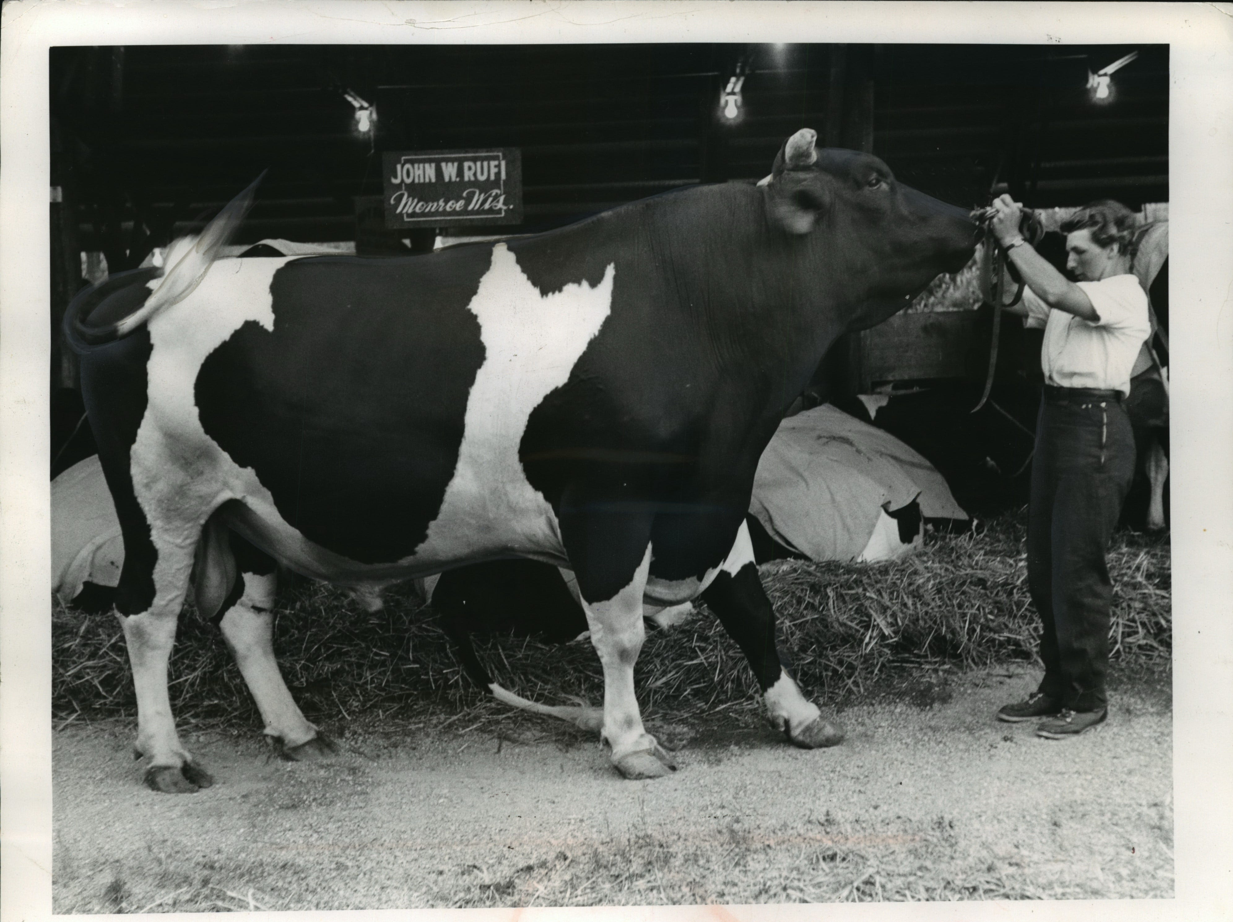 A Monroe girl, Frances Rufi, who weighs 100 lb., led a 2,500 lb. Holstein bull through its paces for judging at a series of county fairs. The bull, Carnation Butterboy Halo, a 4 year old, repeated as grand champion of the Lafayette county fair at Darlington and is entered in the Green county fair this week at Monroe.
