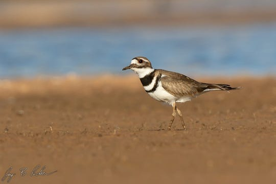 Killdeer, a common year-round resident, Hargesheimer Water Treatment Plant.