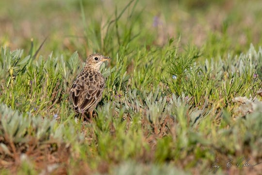 Sprague's Pipit, a specialist of the short grass prairies and a migrant in our area.