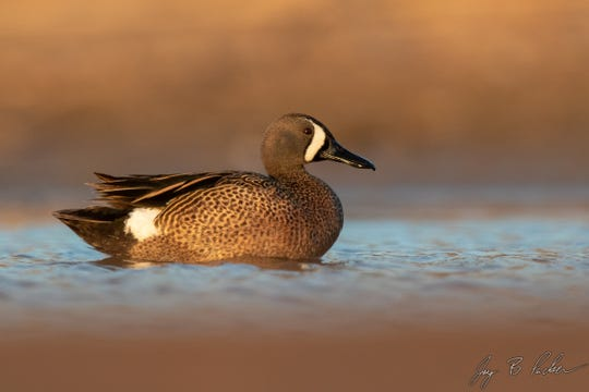 Blue-winged Teal, a common migrant duck in the spring and fall, Hargesheimer Water Treatment Plant.