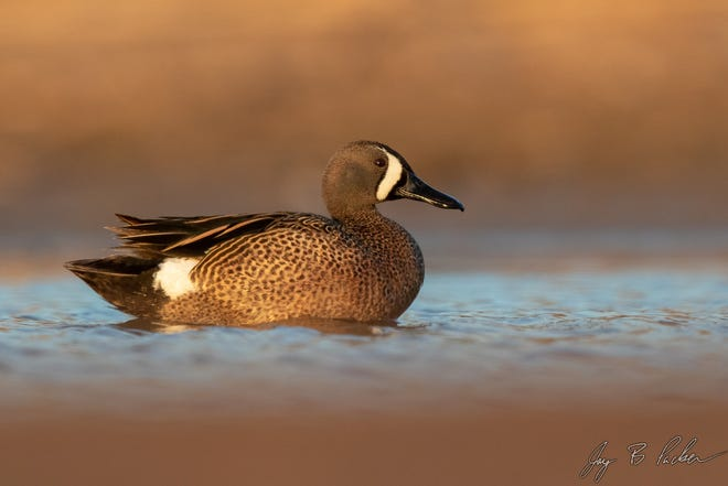 """The Blue-winged Teal (Spatula discors) is one of three species of """"shovelers"""" that call North America home."""