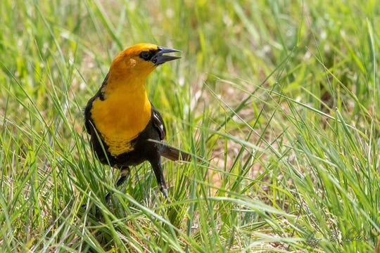 Yellow-headed Blackbird, a fairly common spring and fall migrant, Hargesheimer Water Treatment Plant.