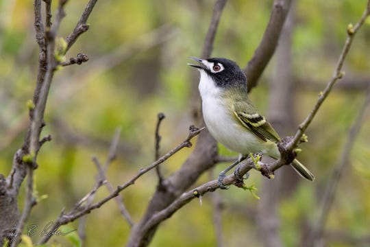 Black-capped Vireo, a scrub specialist found mostly in Texas and northern Mexico.