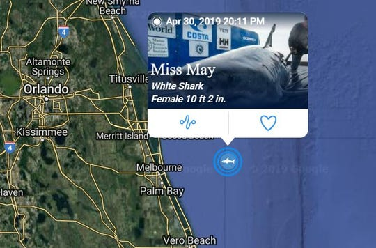 The white shark Miss May was tagged in February 2019 off the coast of Fernandina Beach.