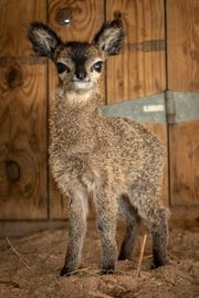 This tiny female antelope was born at the Brevard Zoo and is not yet available for the public to see.
