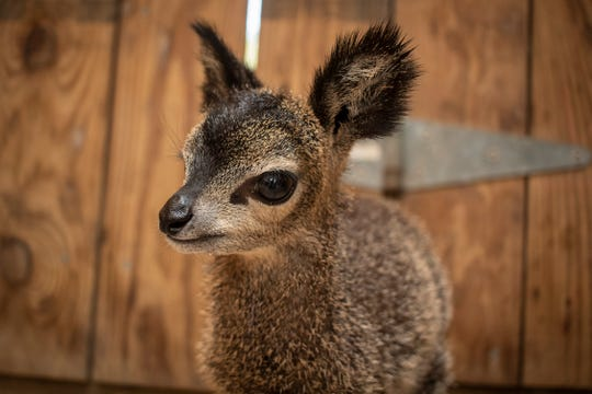 Clarice the antelope is not yet available for public viewing at the Brevard Zoo in Melbourne, Fla.