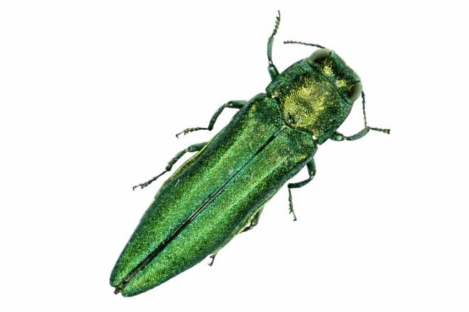 A close-up view of the emerald ash borer.