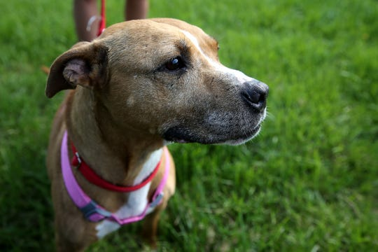 Daisy, a rescue dog with scars on her face from previous run-ins with other dogs, is pictured, Tuesday, April 30, 2019, at All Dogs Come From Heaven Rescue in Amelia, Ohio.
