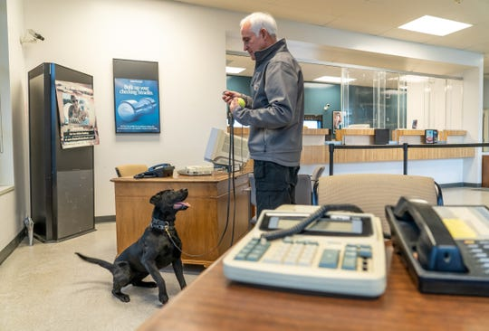 Valley, a 10-month labrador bomb-sniffing dog, sits after detecting dynamite in a drawer while  training in a bank building at the CREST Training Center on the campus of OCC in Auburn Hills on Friday, April 26, 2019