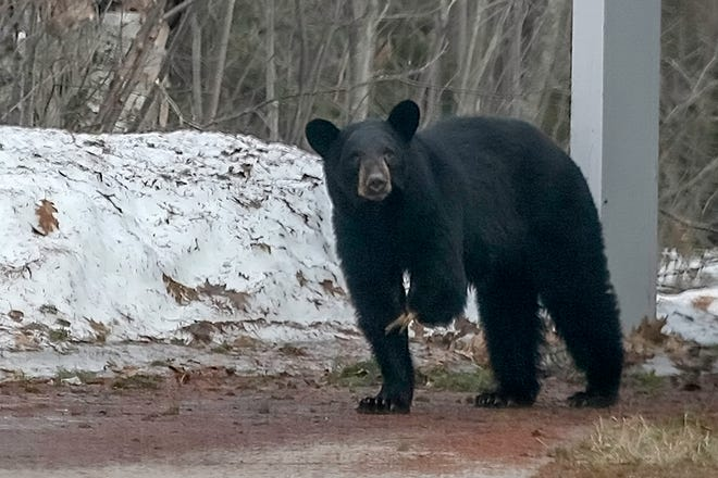 A three-legged black bear has been spotted in Bay Mills.  Conservation officials are trying to capture it alive.