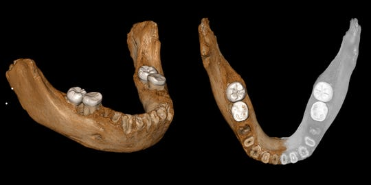Two views of a virtual reconstruction of the Xiahe mandible. At right, the simulated parts are in gray.