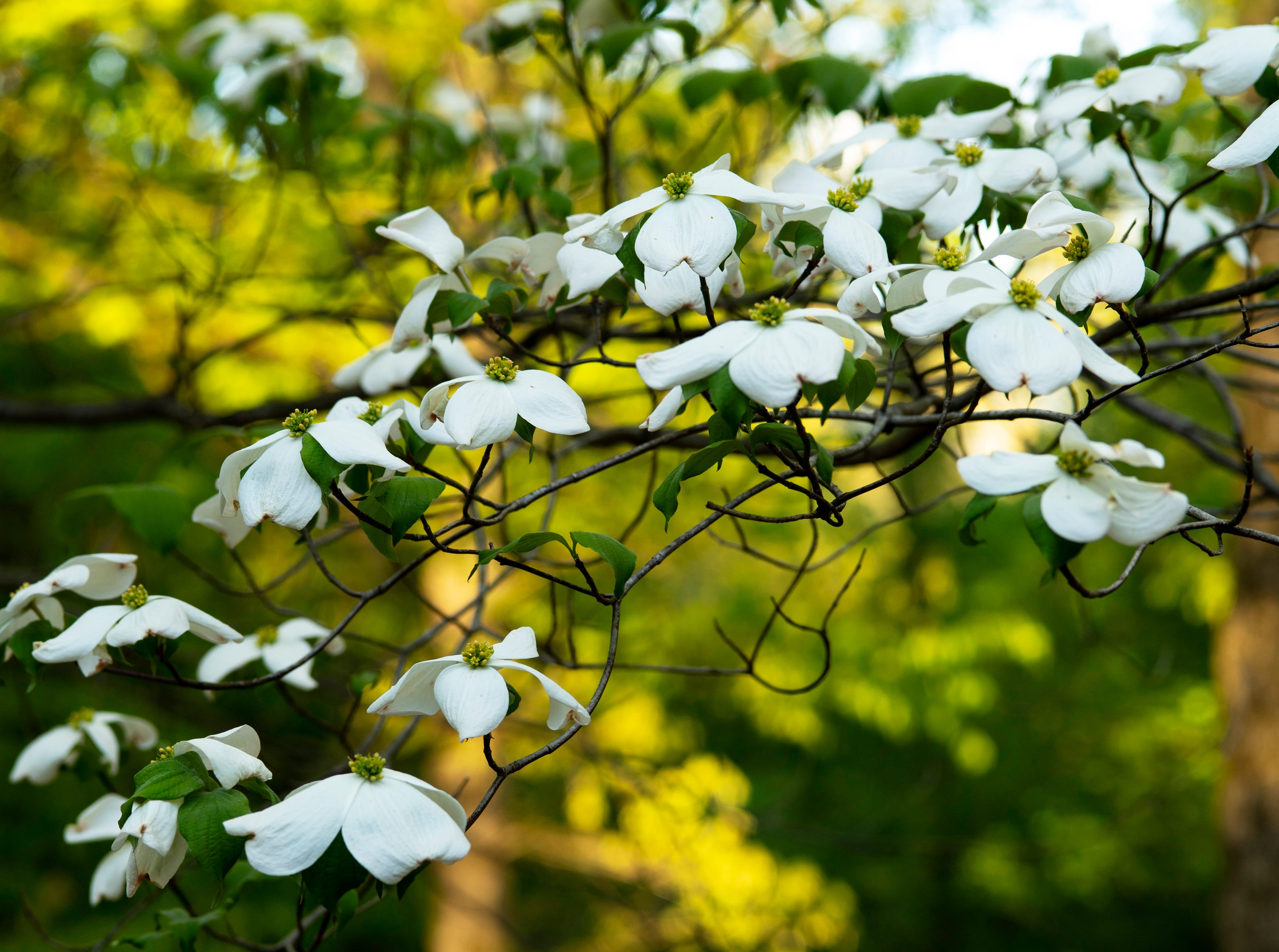 Dogwood blossoms are also at peak blossom time at the Azalea Path Arboretum and Botanical Gardens in Pike County, Ind., Friday, April 26, 2019. The facility was started by Beverly Knight in 1979 on 15 acres and has grown to more than 60 acres and has about 500 varieties of the flower.