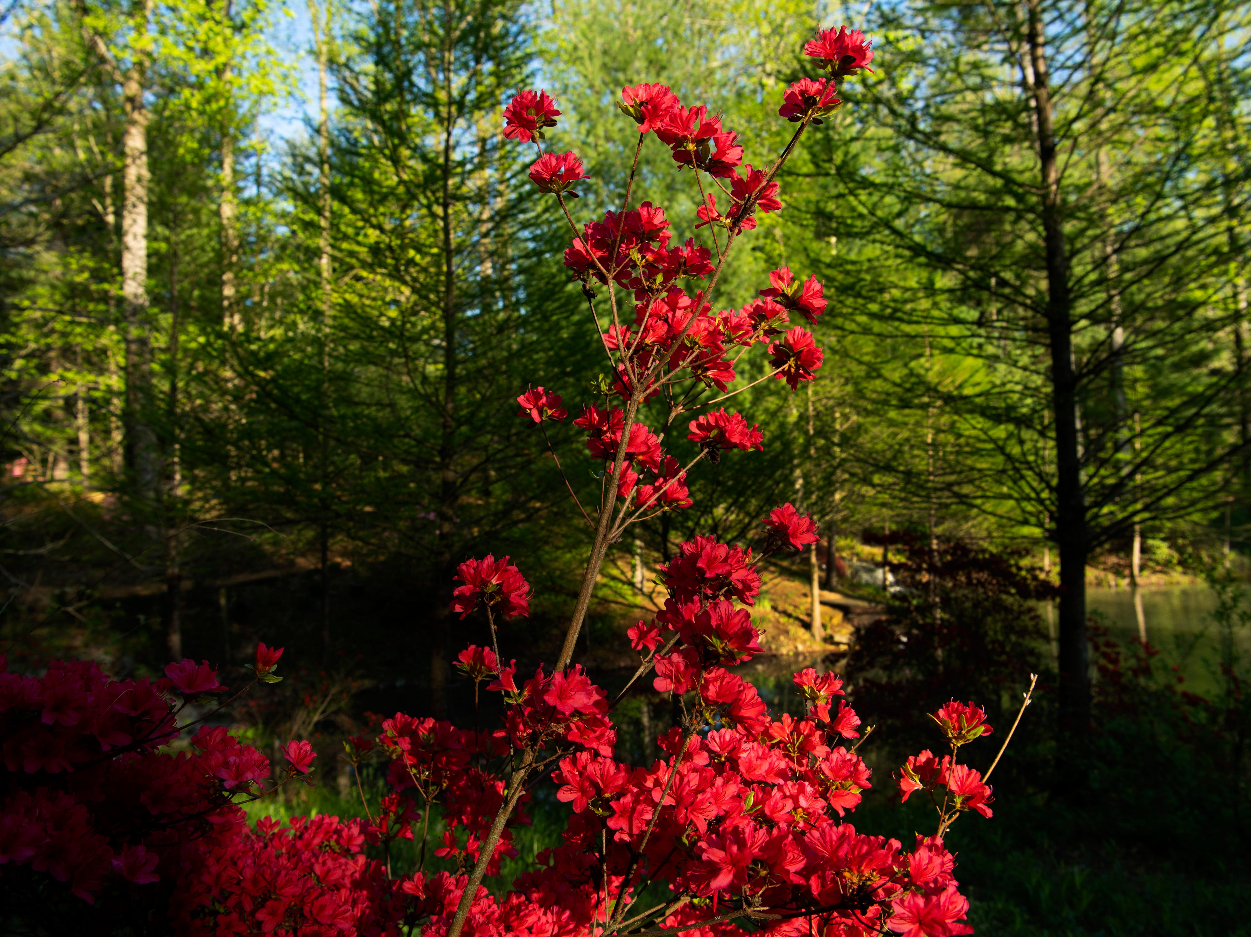 Azaleas dot the landscape at the Azalea Path Arboretum and Botanical Gardens in Pike County, Ind., Friday, April 26, 2019. The facility was started by Beverly Knight in 1979 on 15 acres and has grown to more than 60 acres and has about 500 varieties of the flower.