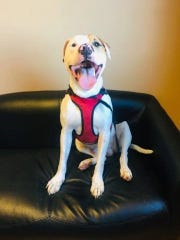 Shiner is waiting to meet a new owner at the Sandusky County Dog Warden's Office.