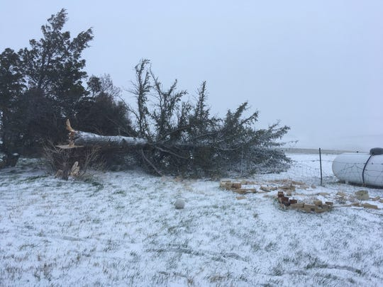 One of 11 spruce trees at Lisa Schmidt's Graham Ranch National Forest didn't make it through the April blizzard. She plans to plant a hardy plum or apple tree in its honor.