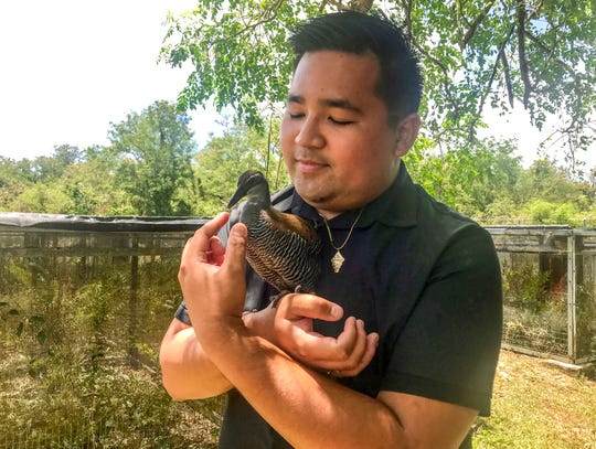 Anthony Tornito, Department of Agriculture biologist, cradles Tåno, one of Guam's critically endangered ko'ko' birds while at the agency's facility in Mangilao on Wednesday, May 1, 2019.