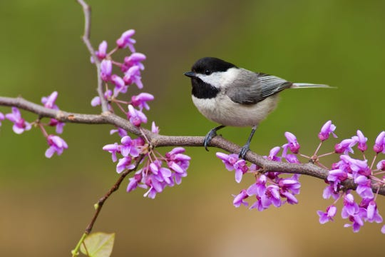 A chickadee approves of the native redbud flowers, which bloom right along the branches.