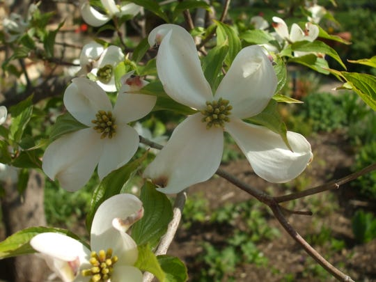The flowers of native dogwoods grace many Indiana landscapes.