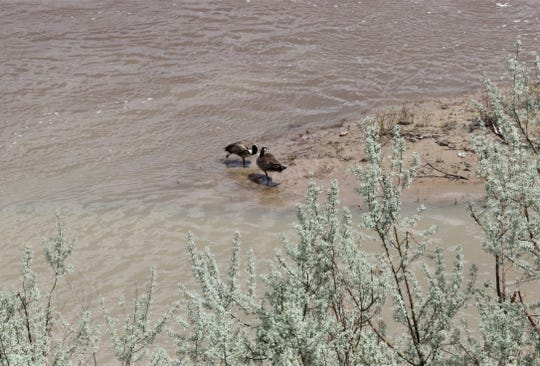 Canada geese stand in the shallows, Wednesday, May 1, 2019, at the confluence of the Animas and San Juan rivers in Farmington.