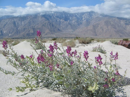 The Coachella Valley milk vetch is one species that loves desert wind and sand. Its seed pods tumble along in the wind and are dispersed. Like other desert deponent species, it has lost most of its habitat due to development .