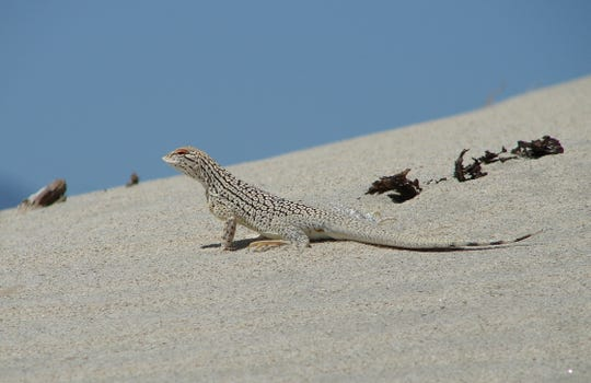 Dusty desert sand is no problem for the Coachella Valley  fringe-toed lizard, which has evolved to be able to dive into and swim through the sand to avoid predators. But it has lost most of its habitat due to human development.