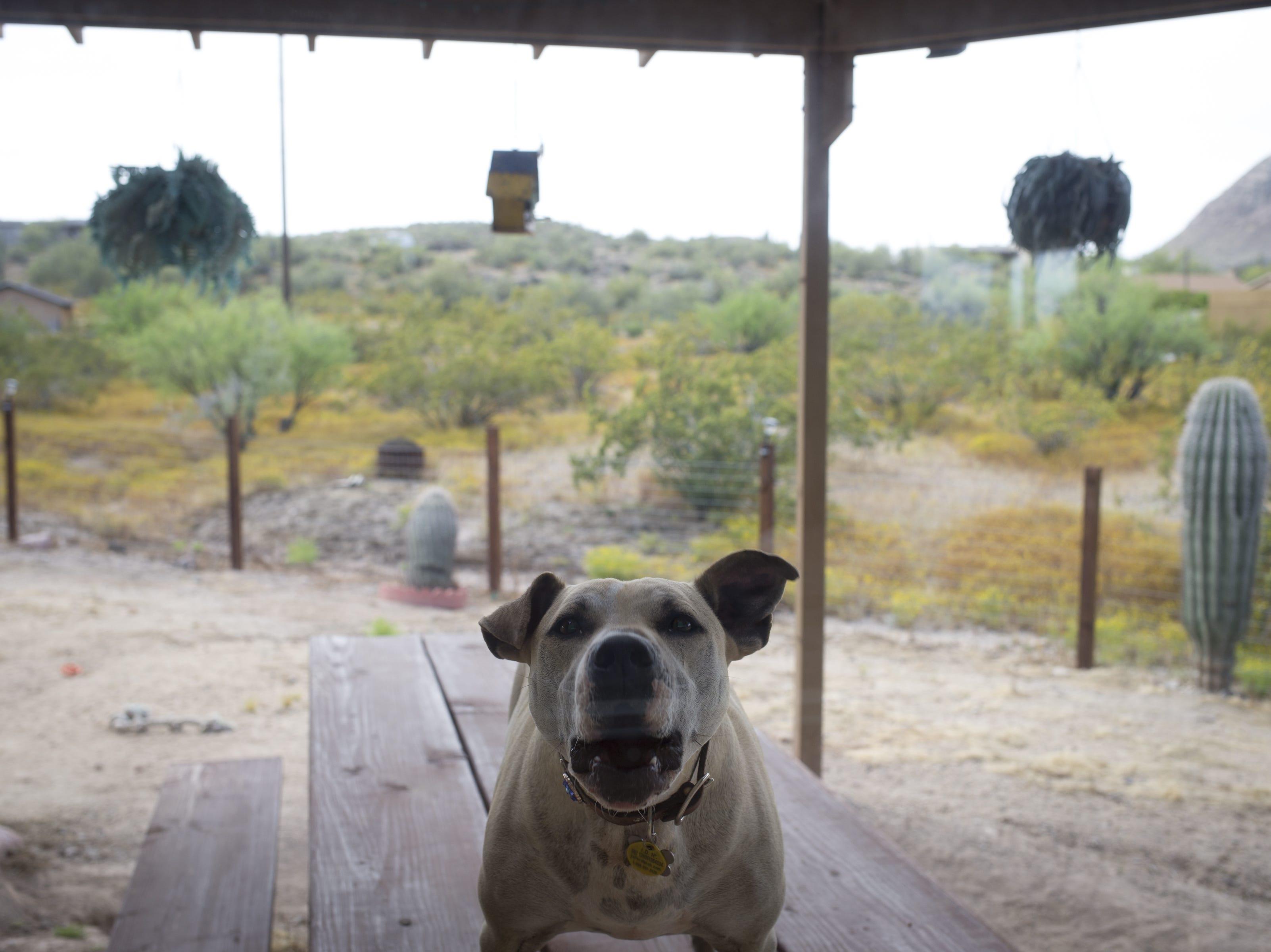 Lincoln, Mary Gevarter's dog, barks at visitors, April 23, 2019, New River.
