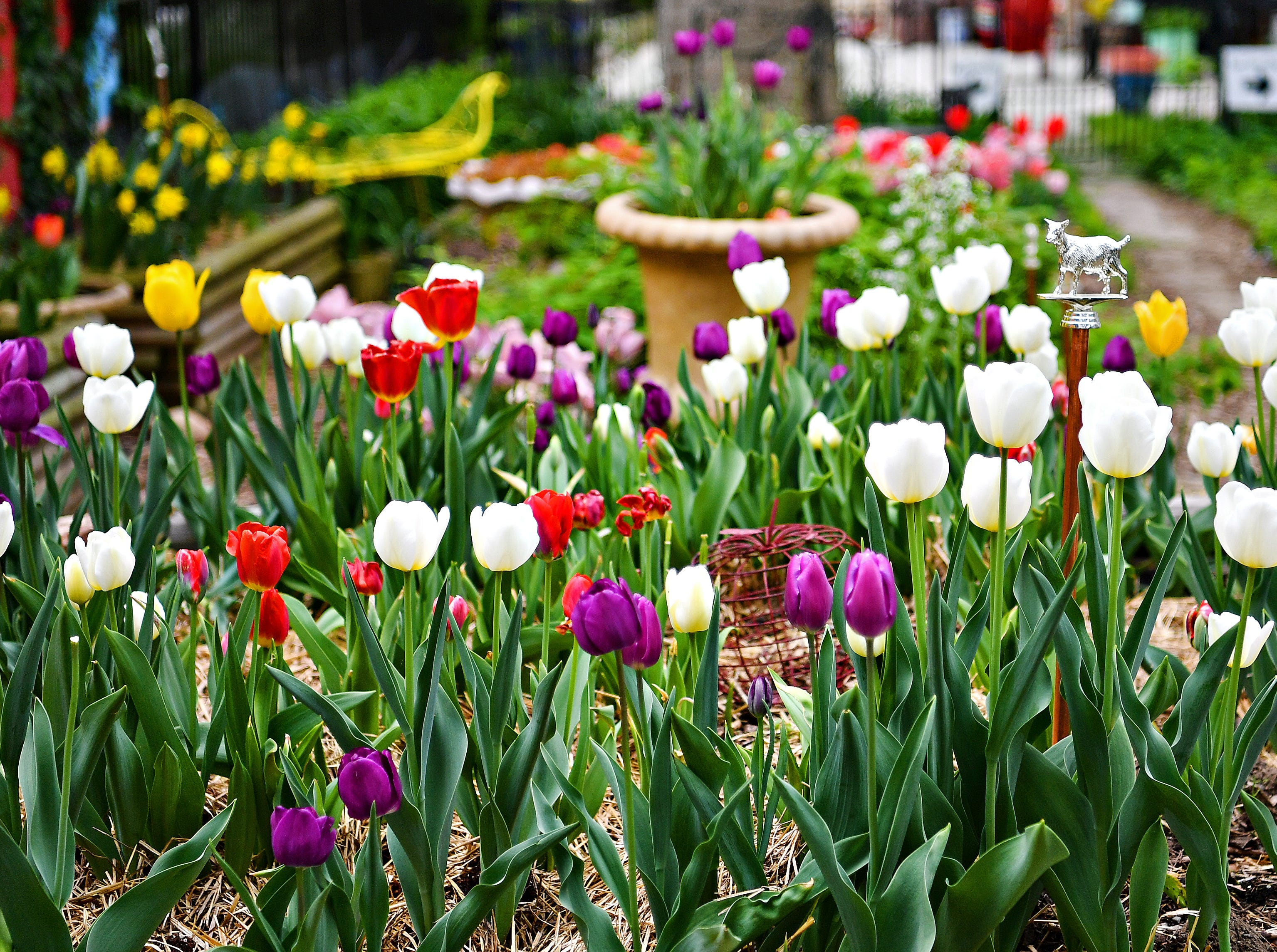 Tulips bloom at Royal Square Garden in York City, Wednesday, May 1, 2019. Dawn J. Sagert photo