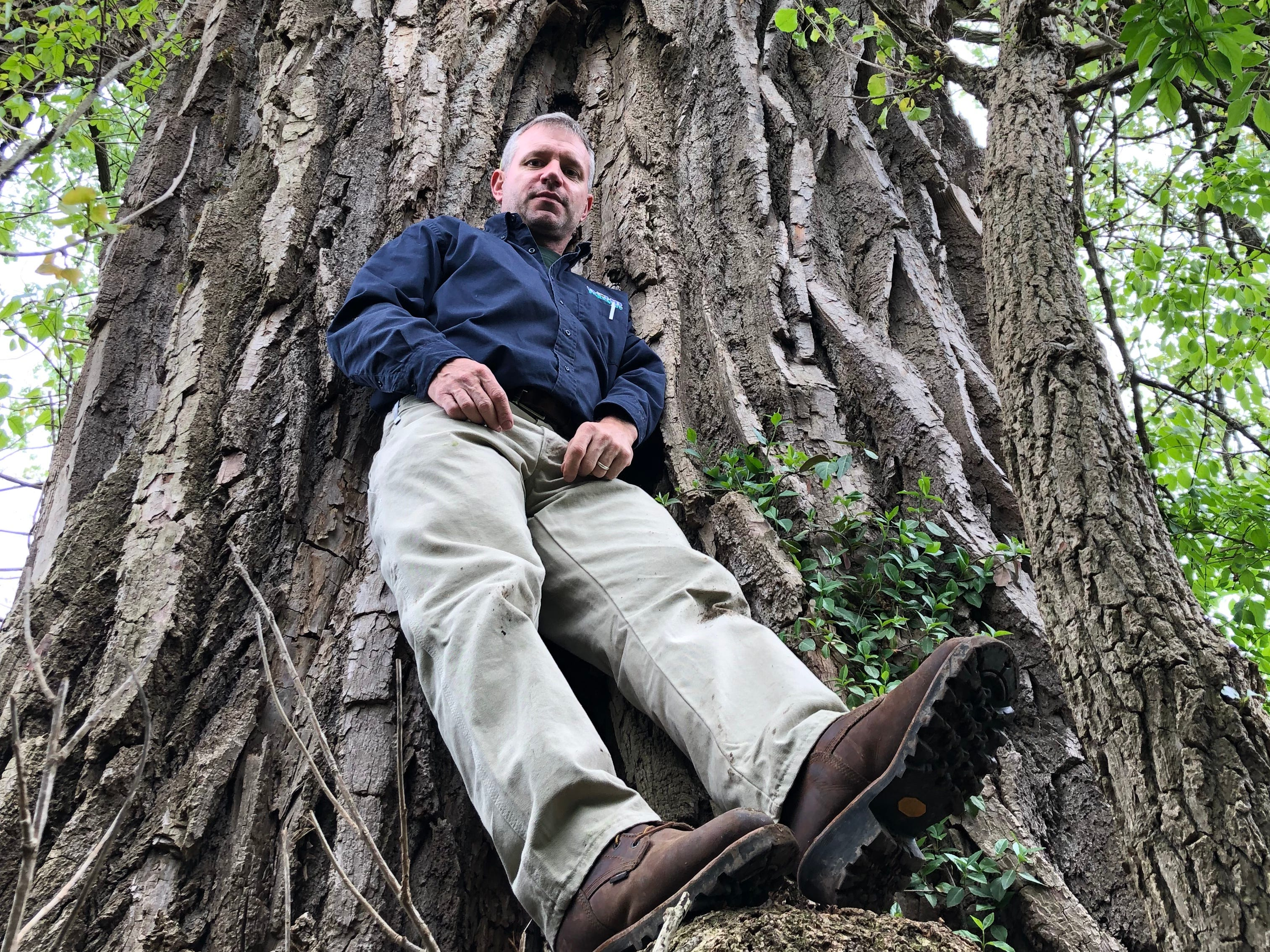 Matt Kern, a forester with the PA Department of Conservation and Natural Resources, poses against the largest tree in York County. The nearly 100-foot high eastern cottonwood features limbs that are 30- to 40-feet long.