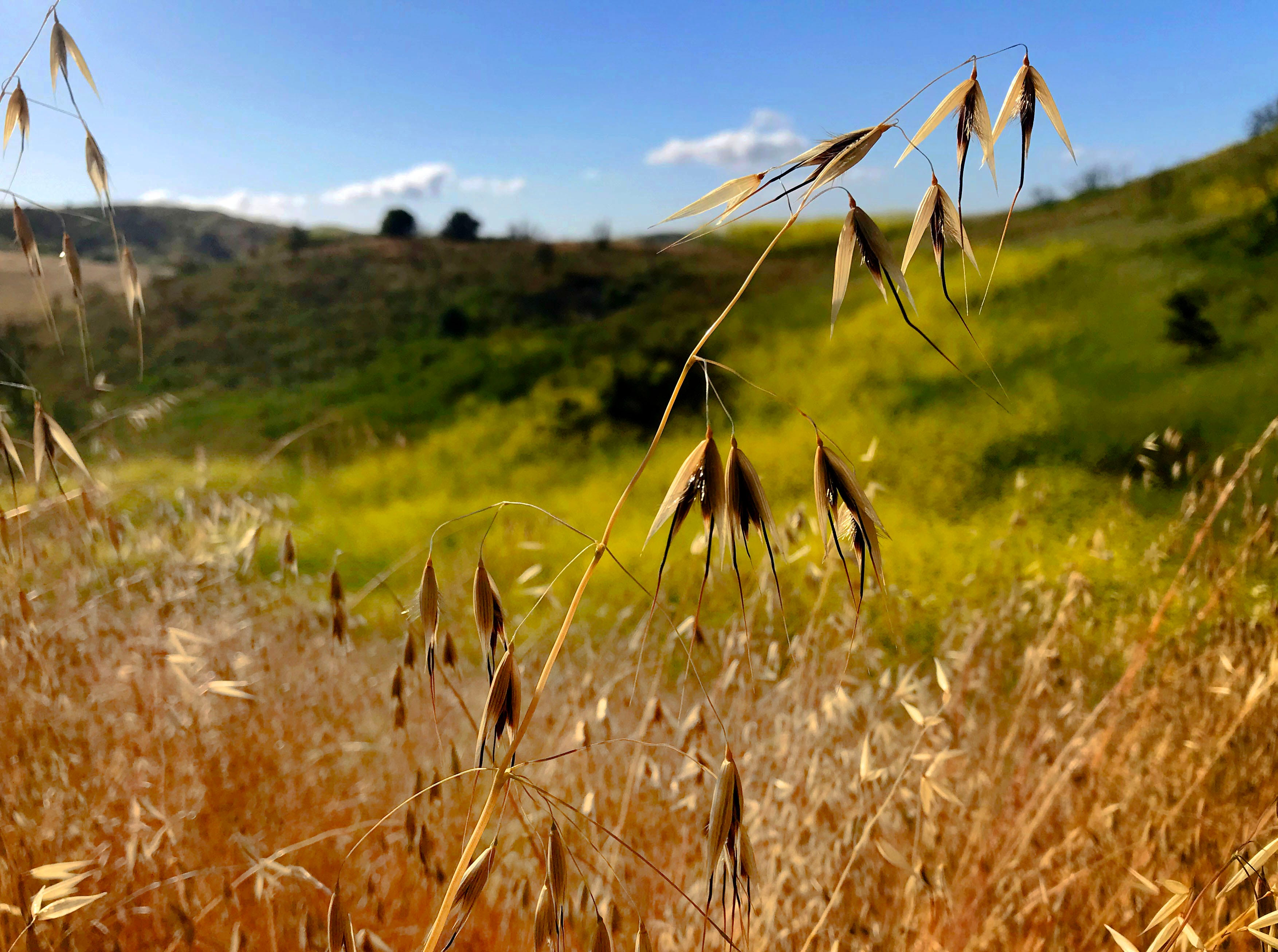 The grass and some of the native plants are turning brown, but black mustard plants continue to flourish along Upper Las Virgenes Trail in the Simi Hills.