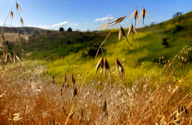 The grass and some of the native plants were turning brownd, but black mustard plants continue to flourish along Upper Las Virgenes Trail in the Simi Hills in May 2019.