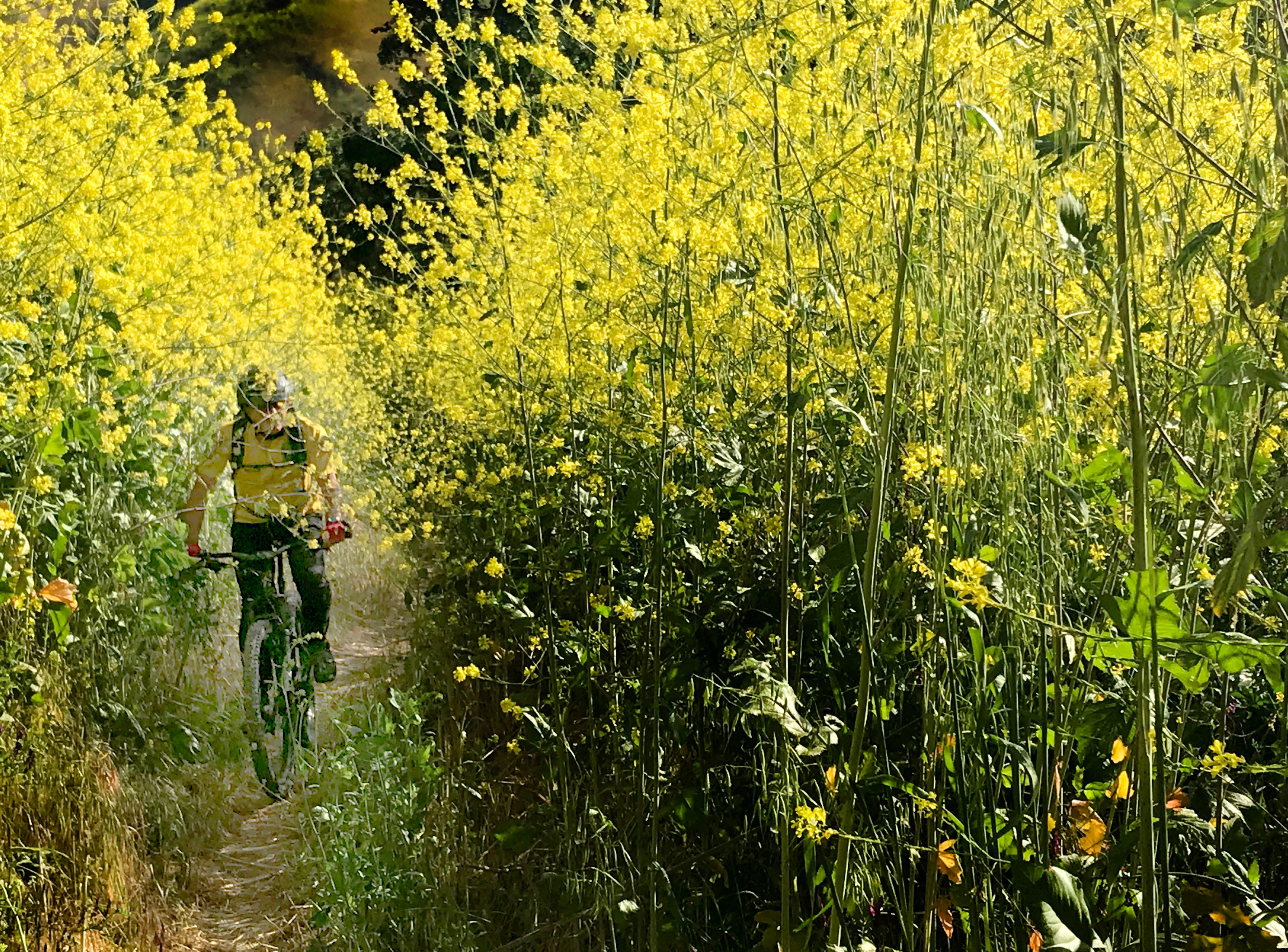 Steve Bonifede makes his way through the 8-foot mustard plants along Upper Las Virgenes Trail, where vegetation has flourished after a wet winter.