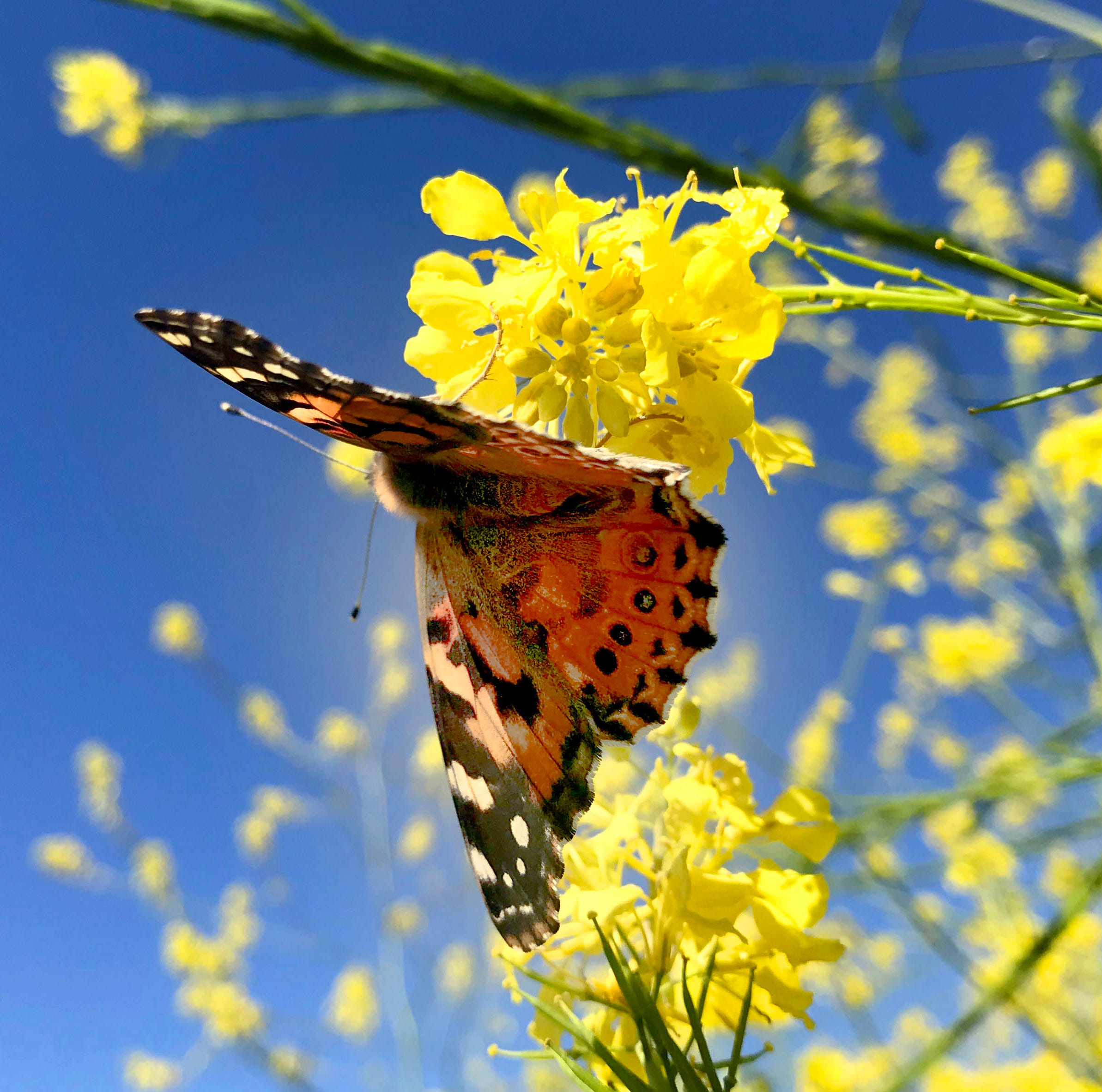 Why we're seeing wave after wave of butterflies in Ventura County