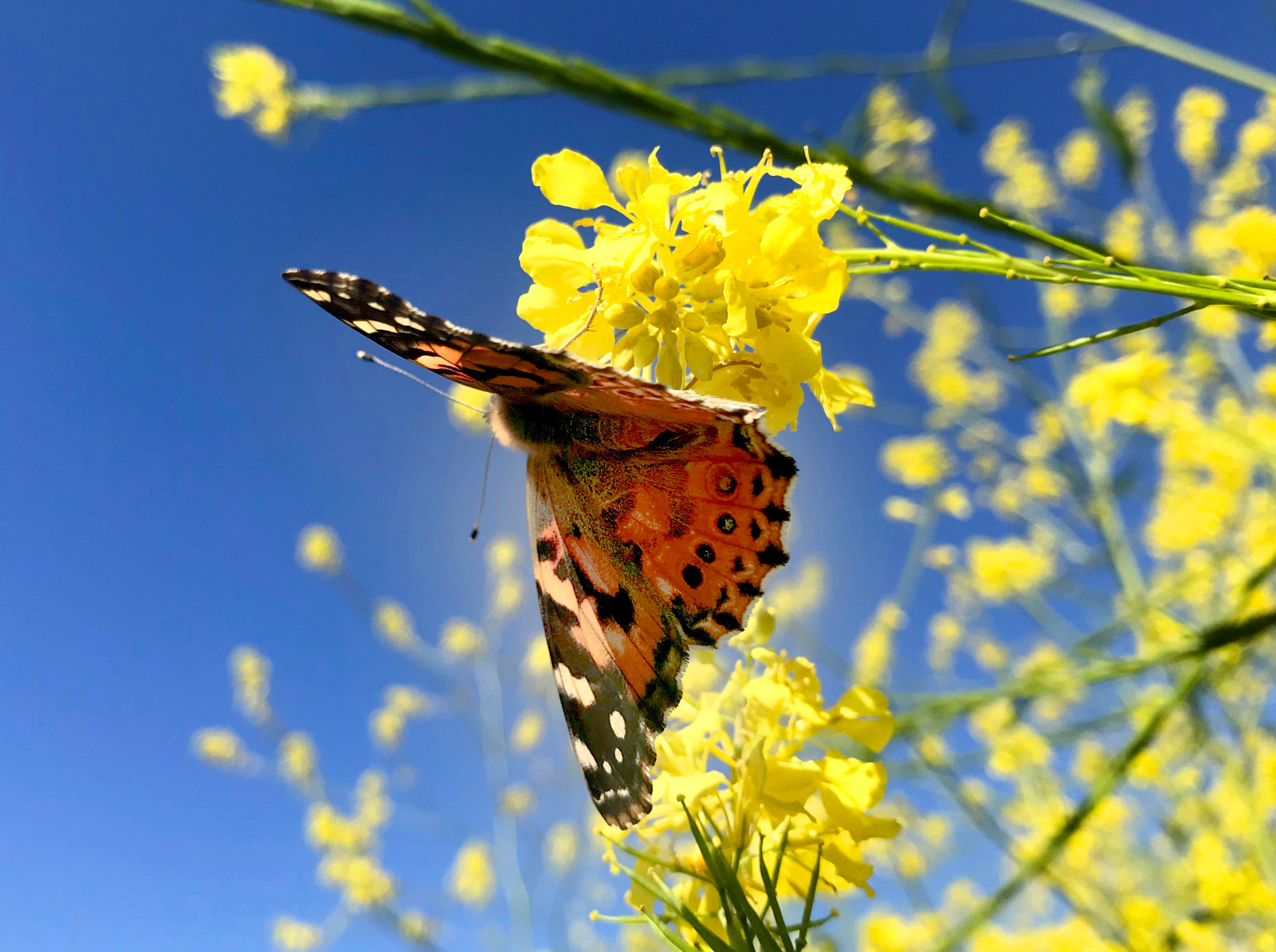 A butterfly rests on a black mustard plant along the Upper Las Virgenes Trail, where vegetation has flourished after a wet winter.