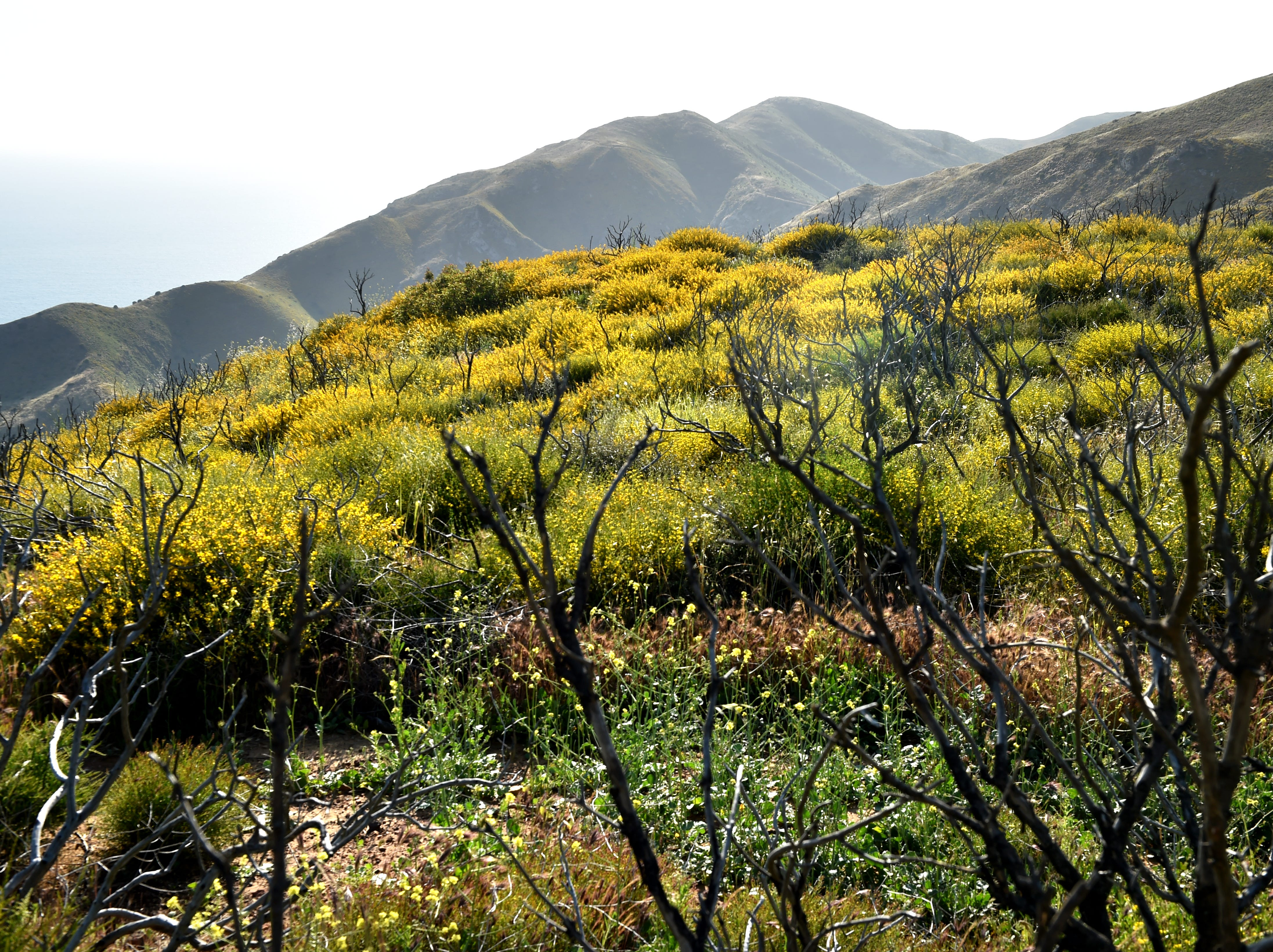 After this year's wet winter, native grasses, black mustard and wildflowers cover a previously burned area of the Santa Monica Mountains. The vegetation bloom could pose challenges for firefighting agencies as summer approaches, leaving an abundance of dry fuel for wildfires.