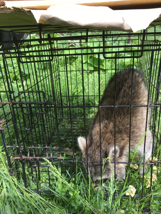 Wilmington police took a raccoon caged by a Southbridge resident away from populated areas and released it into the woods Monday.