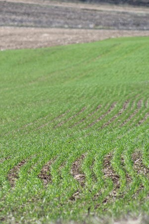 Winter wheat was 44 percent in good to excellent condition statewide. Rows of winter wheat have emerged on this hillside farm field east of Fond du Lac.