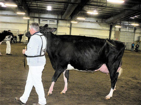 "Jim Ostrom leading ""Sangria"" during her Sr.Three Class, long before she was crowned Grand Champion Holstein."