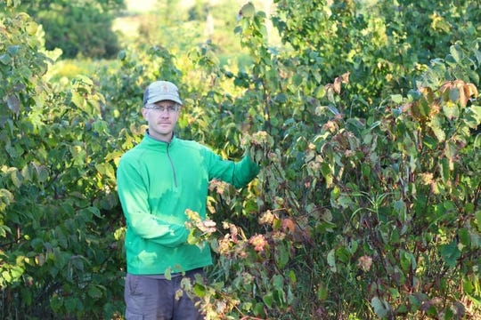 Jason Fischbach, co-leader of the Upper Midwest Hazelnut Development Initiative, with a bush hazelnut at a UW–Madison experimental farm. Hazelnuts grown as bushes can be harvested with modified blueberry pickers.